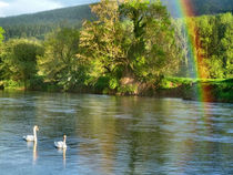 Swans and Rainbow by Debra  Collins