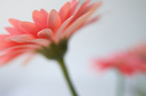 gerbera 1 by Barbara Allain