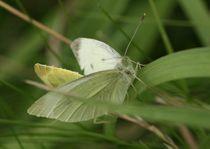 Schmetterlinge von Egon Rathke