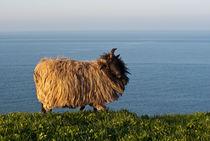 Schaf-auf-helgolands-oberland