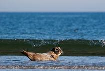 Seehund auf Helgoland von Thomas Mertens