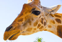 Giraffe eye balling you. by Brian  Leng