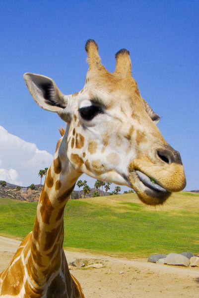 Giraffe-face