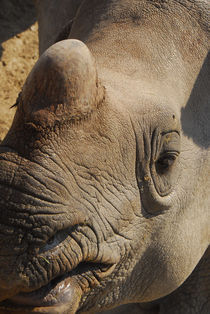 Rhino in San Diego Wild Park by Brian  Leng