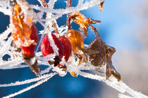 Frosted rosehips by Danislav Mironov
