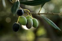 Oliven 1 by Rosina Schneider