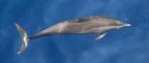 Maldives Dolphins 1 by Kai Kasprzyk