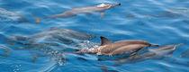 Maldives Dolphins 5 by Kai Kasprzyk