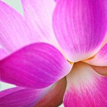 Sacred Lotus by Stefan Nielsen
