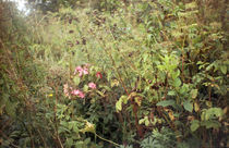 wild roses by martina-degamine