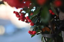 Holly Berries by fomaphotography