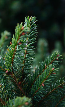 Spruce Frond by Joel Gafford