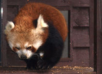 Red Panda by Charlotte Fenner