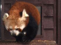 Red Panda von Charlotte Fenner