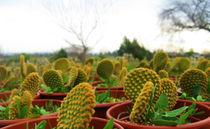little cactus by jose Manuel del Solar