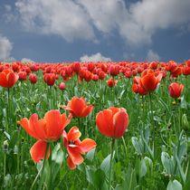 Tulpenfeld von Egon Rathke