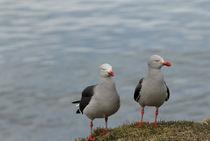 Patagonia seagulls von mariana clotta