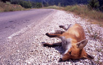 run over, fox by Manel Clemente