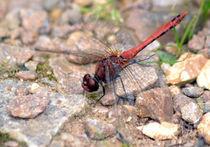 Dragonfly by Nick Flegg