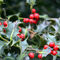 Red-berries-2