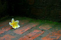 Laotian flower on brick steps by Benjamin Wilkinson