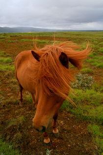 Icelandic Horse von Benjamin Wilkinson