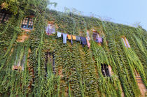 Laundry on an ivy wall by Ed Rooney