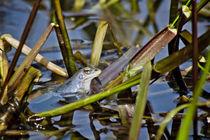 Blue Frogs 02 - Rana arvalis by Roland Hemmpel