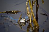Blue Frogs 05 - Rana arvalis by Roland Hemmpel
