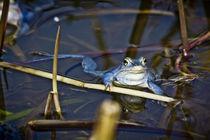 Blue Frogs 06 - Rana arvalis by Roland Hemmpel
