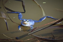 Blue Frogs 03 - Rana arvalis by Roland Hemmpel