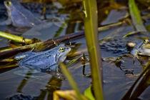Blue Frogs 08 - Rana arvalis by Roland Hemmpel