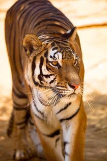 Bengal-tiger-fullsize