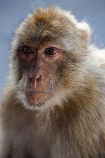 Gibraltar Macaque Portrait von Marc Garrido Clotet