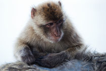Young Gibraltar Macaque von Marc Garrido Clotet