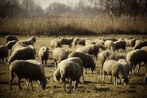 Schafe von Andrea Gehrig