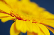 Yellow Gerbera by Craig Joiner