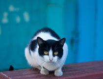 A white-black cat on a turquoise background by matata