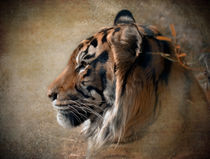 Sumatran Tiger, Panthera tigris by Betty LaRue