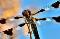 Twelve-Spotted Skimmer Dragonfly von Betty LaRue