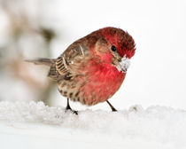 Male House Finch in the Snow von Betty LaRue