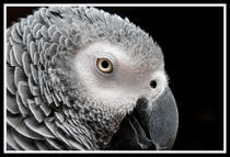 African Gray Parrot von Betty LaRue