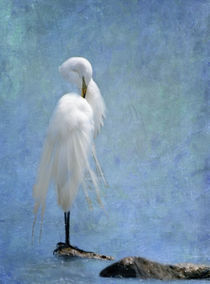 Great Egret Preening by Betty LaRue