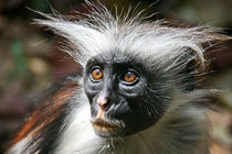 Red Colobus Monkey by Yvonne Hamilton