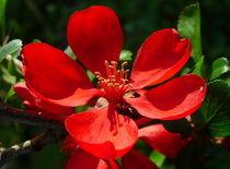 Blüte einer Pseudoquitte von Katy Haecker