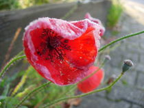 Gefrosteter Mohn by Katy Haecker