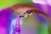 Water Drop Iris  von Kellen Witschen