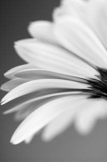 Black and white Gerbera. von Craig Joiner