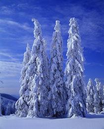 'Winter Trees' by Okapia