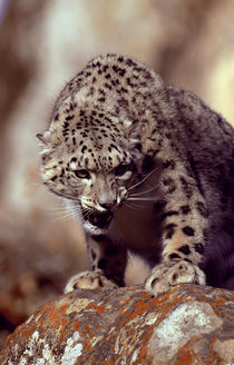 'Säugetiere/Katzen' von Okapia